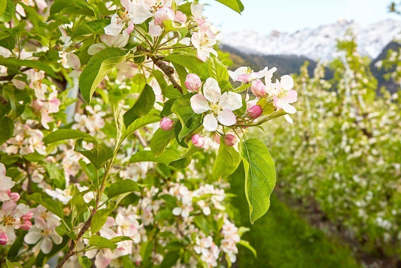 Apple blossom at the farm Waldharthof