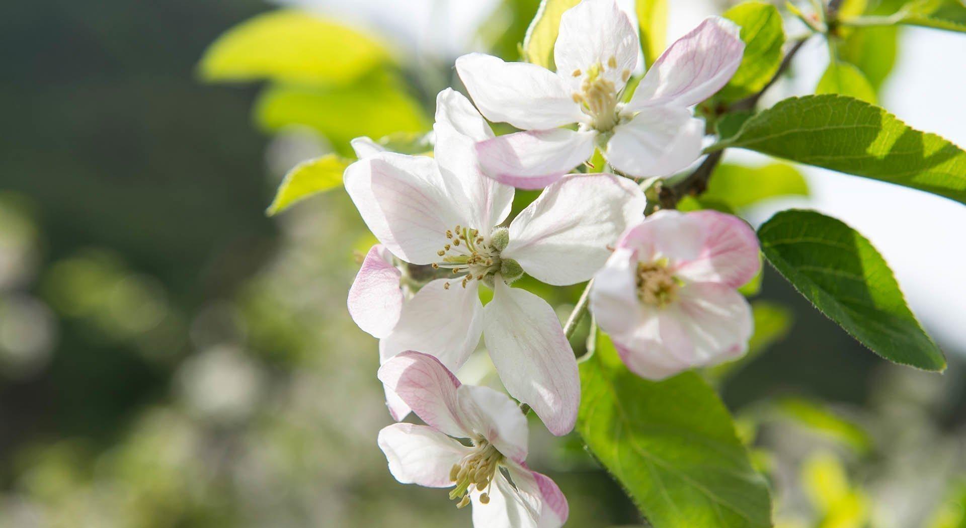 Südtiroler Frühling Blütezeit auf dem Apfel-Hochplateau Natz-Schabs