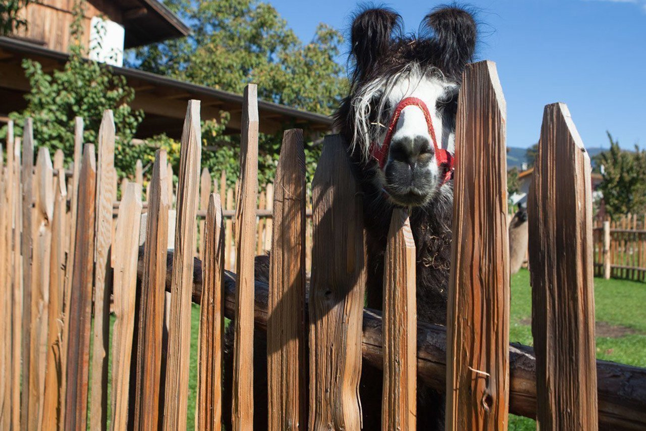 Holidays with animals – Farmtour with lama trekking in South Tyrol